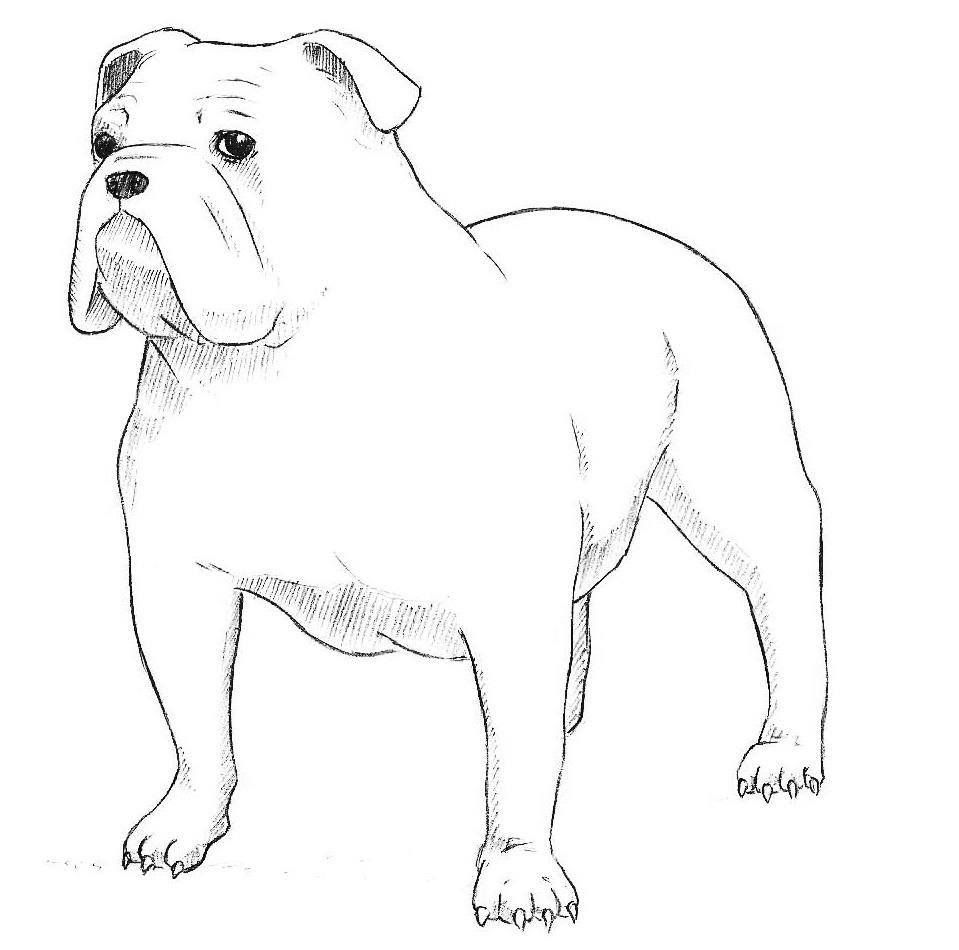6-how-to-draw-a-bulldog.jpg